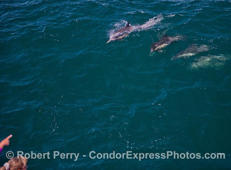 Common dolphins (<em>Delphinus capensis</em>).