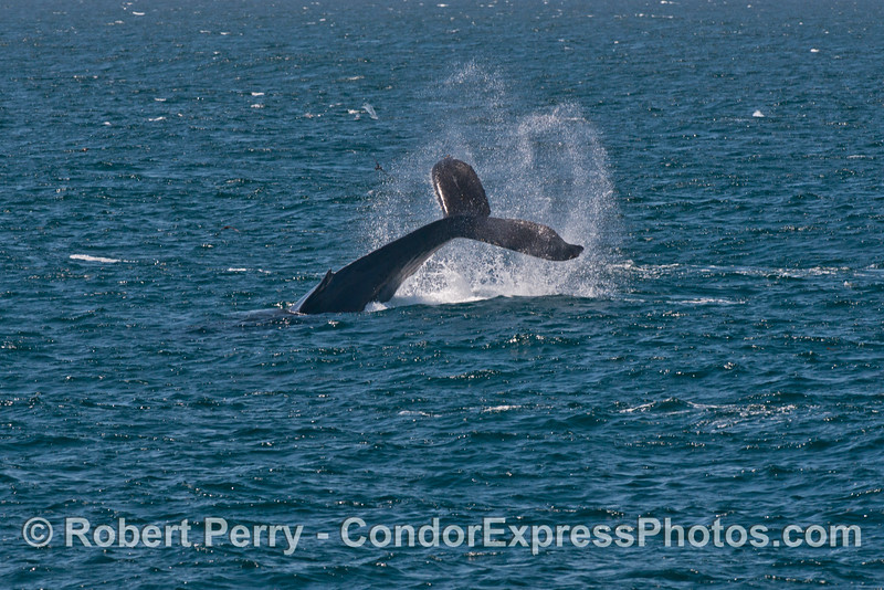 A beasty humpback whale (<em>Megaptera novaeangliae</em>) throws its tail.