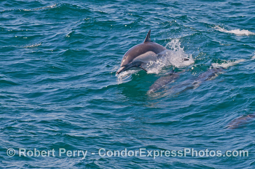 Another leaping common dolphin (<em>Delphinus capensis</em>).