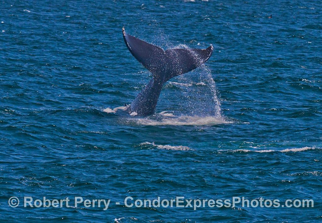 A lob tailing humpback whale (<em>Megaptera novaeangliae</em>).