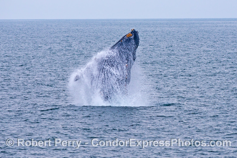 Why do humpback whales (<em>Megaptera novaeangliae</em>) breach?  Some say it is to remove barnacles and other skin ectoparasites.