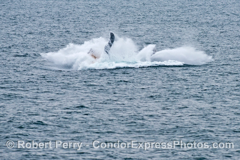 Why do humpback whales (<em>Megaptera novaeangliae</em>) breach? in this photograph and the next you can see the whale evacuating its intestines during the breach....perhaps another reason for this activity,
