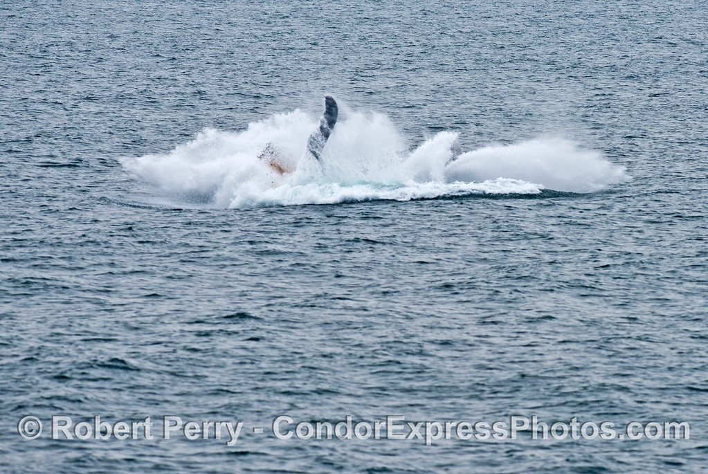 Why do humpback whales (Megaptera novaeangliae) breach? in this photograph and the next you can see the whale evacuating its intestines during the breach....perhaps another reason for this activity,