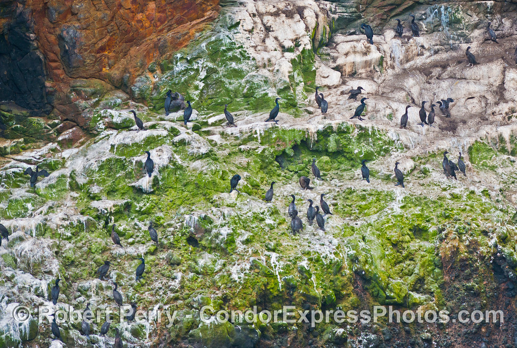 Cormorants (<em>Phalocrocorax</em> sp.) roost on the sea cliffs of Santa Cruz Island.