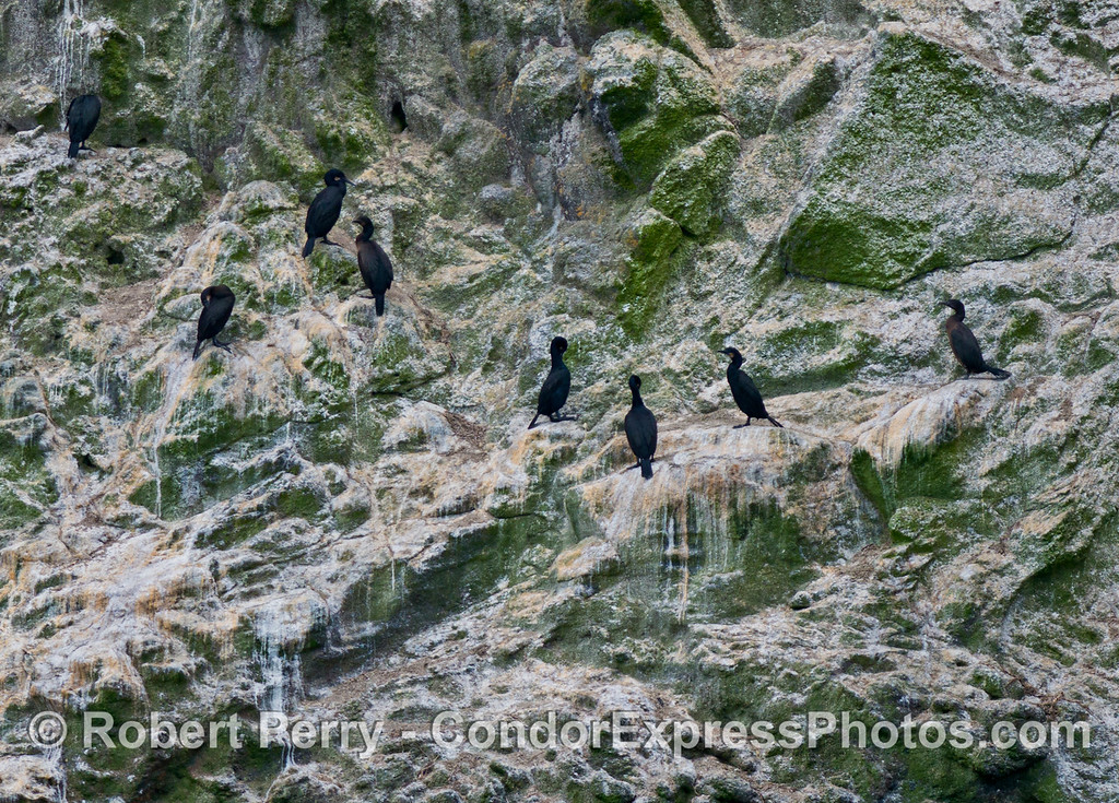 Cormorants (Phalocrocorax sp.) roost on the sea cliffs of Santa Cruz Island.
