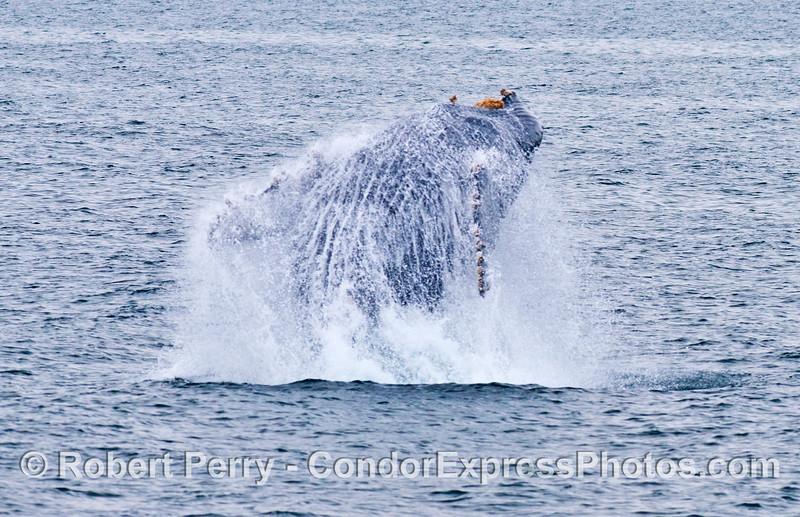 Why do humpback whales (<em>Megaptera novaeangliae</em>) breach?  Some say it is just plain fun.
