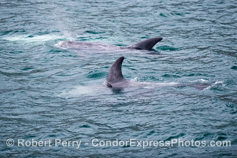 A group of Risso's dolphins (<em>Grampus griseus</em>).