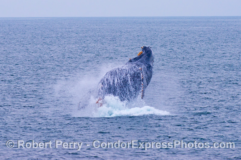 Why do humpback whales (<em>Megaptera novaeangliae</em>) breach?  Some say it is a form of physical exercise or a way to get tough.