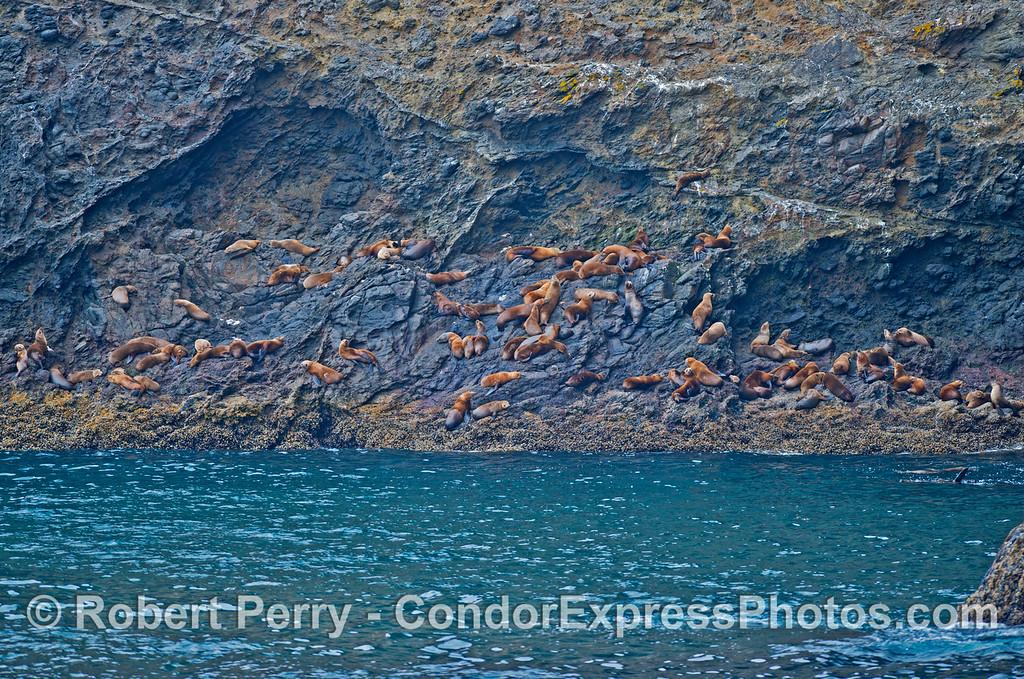 Zalophus californianus hauled on rocky cliffs 2013 07-10 Sta Cruz Island-008
