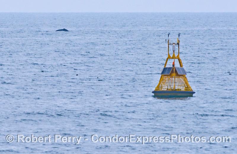NOAA buoy 46053 located in the middle of humpback whale (<em>Megaptera novaeangliae</em>) territory.