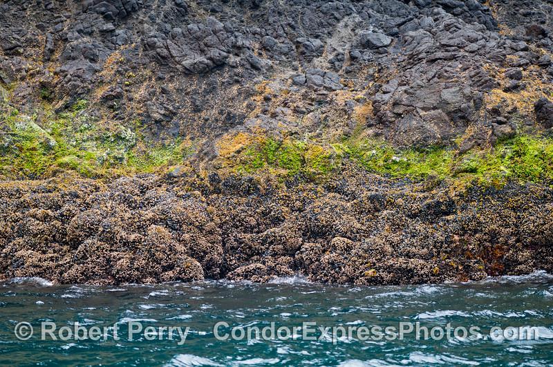 intertidal zonation northwest coast 2013 07-10 Sta Cruz Island-001