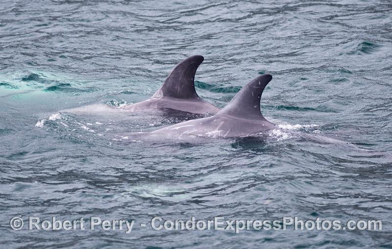 Two Risso's dolphins (<em>Grampus griseus</em>) side by side.