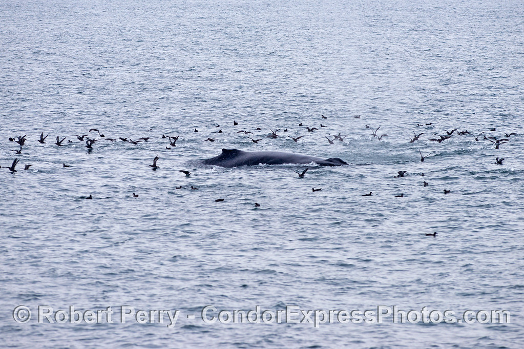 A humpback whale (Megaptera novaeangliae) is seen surrounded by sooty shearwaters (Puffinus griseus).