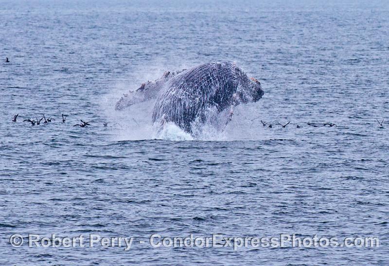 Why do humpback whales (<em>Megaptera novaeangliae</em>) breach?  ...to scare the sooty shearwaters (<em>Puffinus griseus</em>) ?