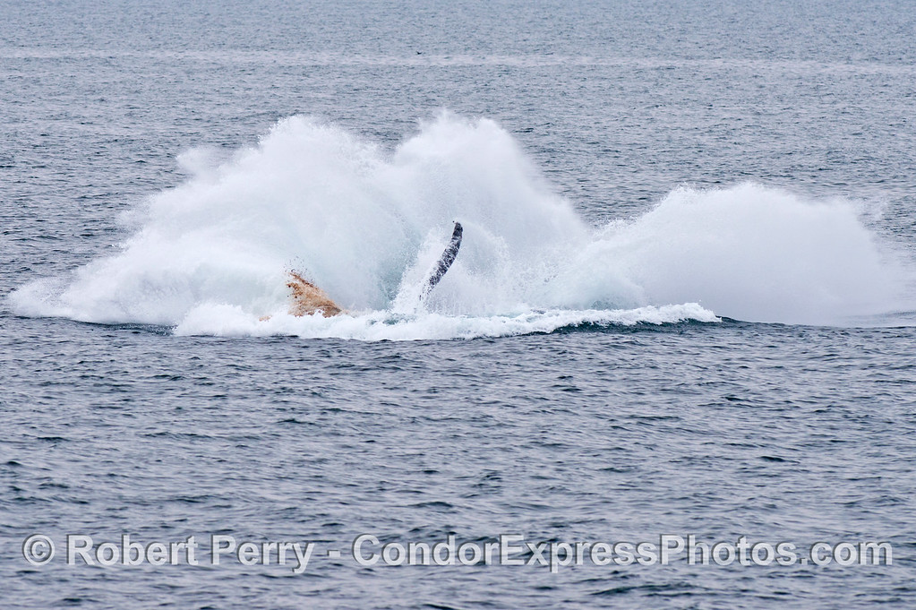 Why do humpback whales (<em>Megaptera novaeangliae</em>) breach? in this photograph and the previous one you can see the whale evacuating its intestines during the breach....perhaps another reason for this activity,