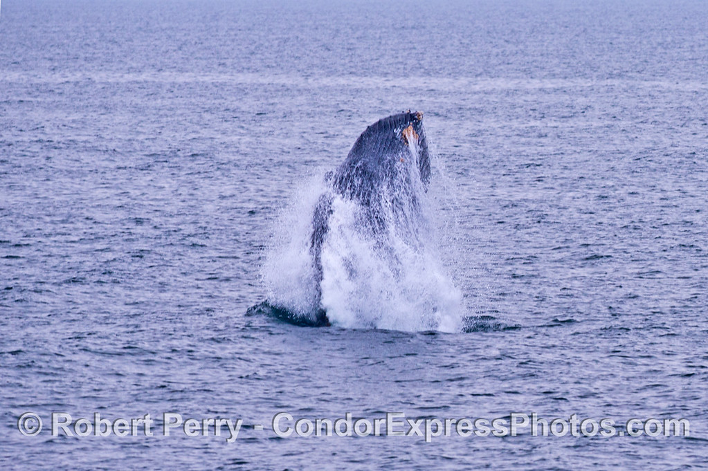 Why do humpback whales (<em>Megaptera novaeangliae</em>) breach? Some say it is to make a loud noise and announce their presence.