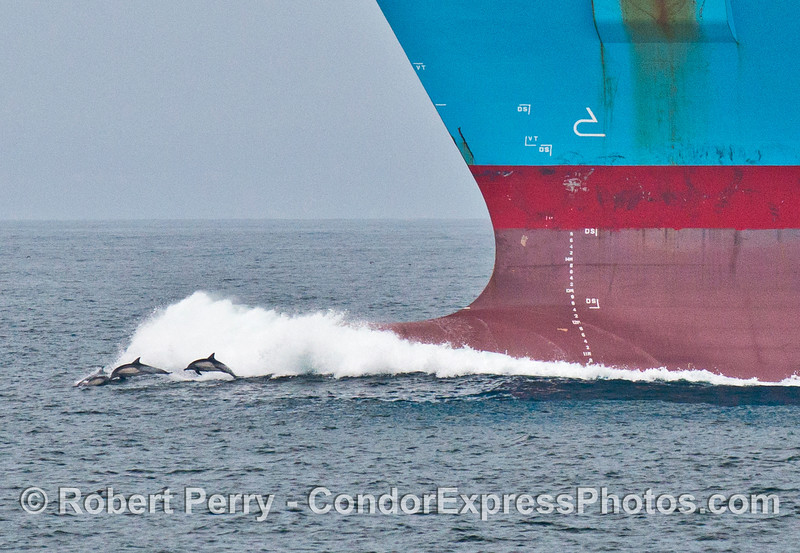 CLOSE UP VIEW:  A group of common dolphins (<em>Delphinus capensis</em>) rides the bow of the container vessel Maersk Antares.