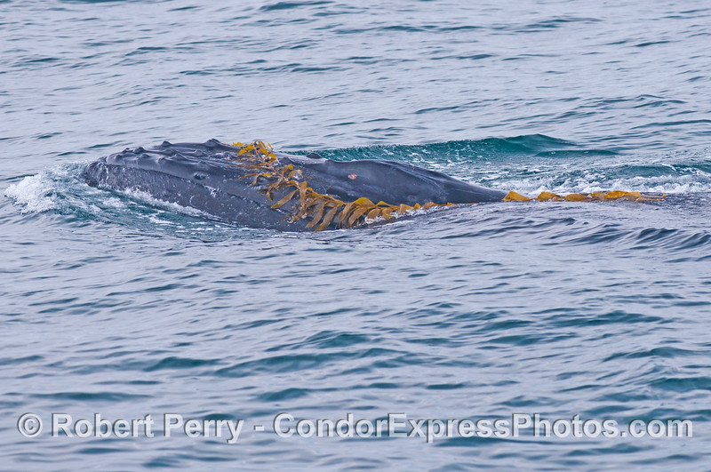 Image 2 of 4:  A humpback whale (<em>Megaptera novaeangliae</em>) plays with some drifting giant kelp (<em>Macrocystis pyrifera</em>).