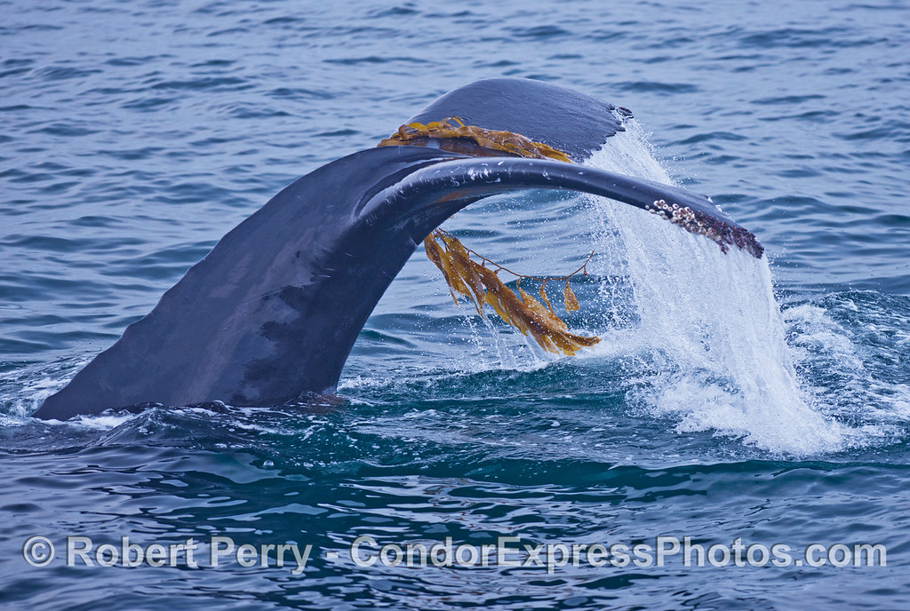 Image 4 of 4:  A humpback whale (<em>Megaptera novaeangliae</em>) plays with some drifting giant kelp (<em>Macrocystis pyrifera</em>).