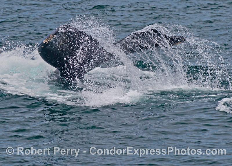 Tail flukes of a giant humpback whale (<em>Megaptera novaeangliae</em>).