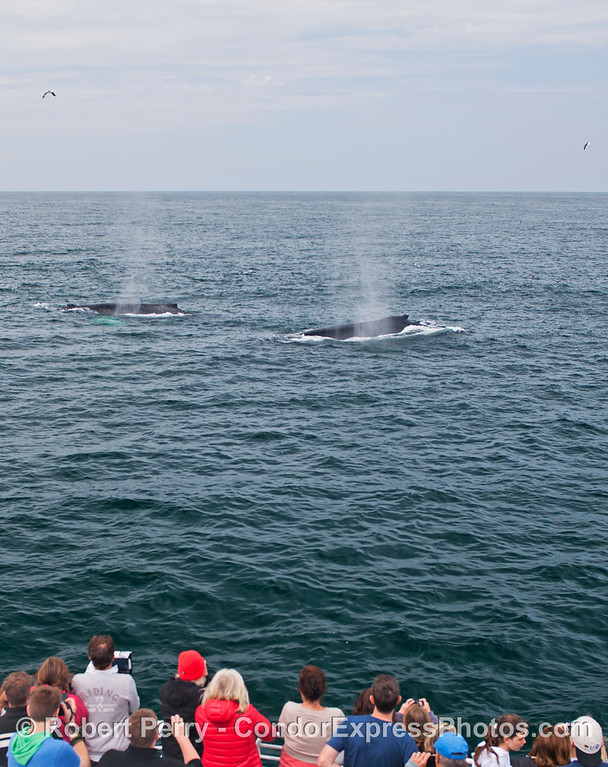 A duo of friendly humpback whales (<em>Megaptera novaeangliae</em>) come by the Condor Express.