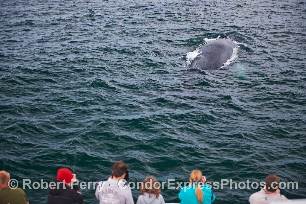 Condor Express people enjoy a close look at a humpback whale (<em>Megaptera novaeangliae</em>).