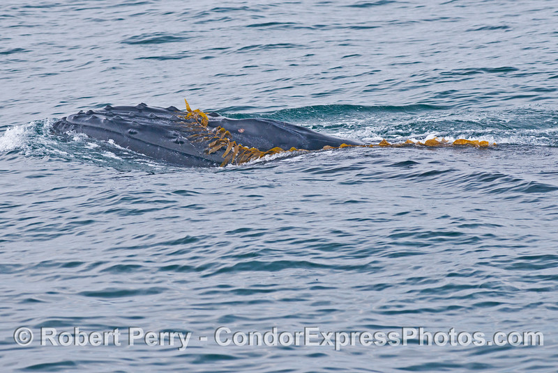 Image 3 of 4:  A humpback whale (<em>Megaptera novaeangliae</em>) plays with some drifting giant kelp (<em>Macrocystis pyrifera</em>).