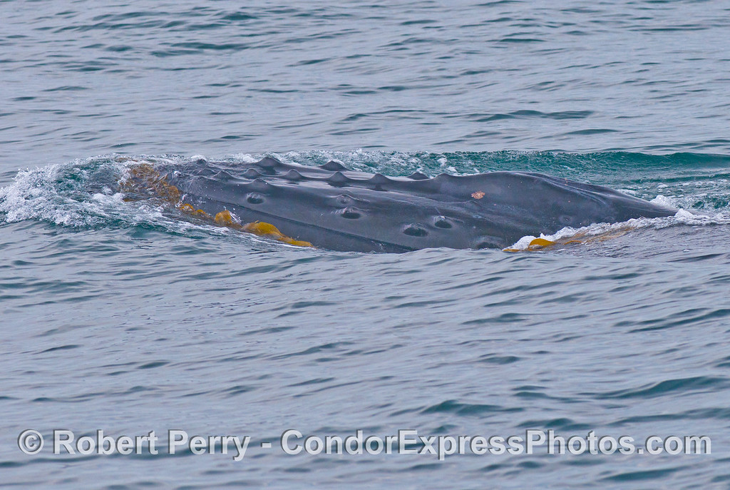 Image 1 of 4:  A humpback whale (<em>Megaptera novaeangliae</em>) plays with some drifting giant kelp (<em>Macrocystis pyrifera</em>).