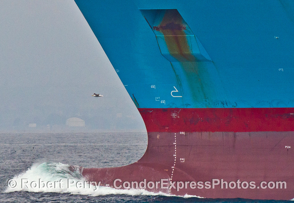 A western gull (<em>Larus occidentalis</em>) rides the wind on the bow of the container vessel Maersk Antares.