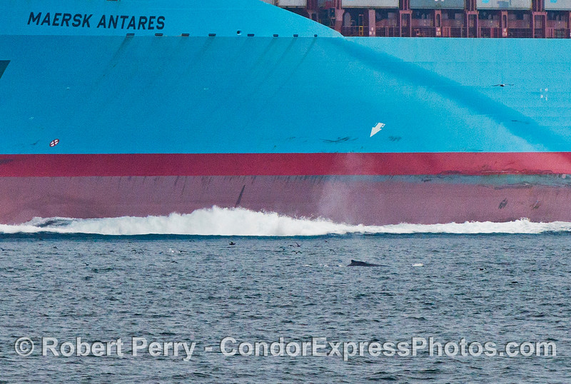 The container vessel Maersk Antares is seen very close to a humpback whale (<em>Megaptera novaeangliae</em>) in the north bound shipping lane.