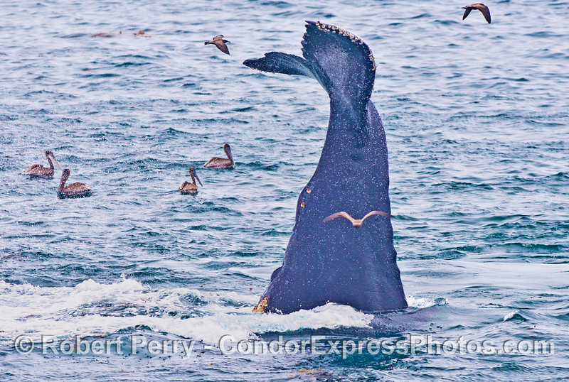 """A humpback whale (<em>Megaptera novaeangliae</em>) """"stands on its head"""" ... probably a downward lunge feeding.  Image 1 shows a closer look at the curvature of the tail and its beefy stock."""