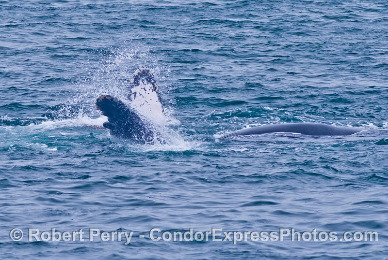 This is one single upside down humpback whale (<em>Megaptera novaeangliae</em>) with both pectoral fins in the air.