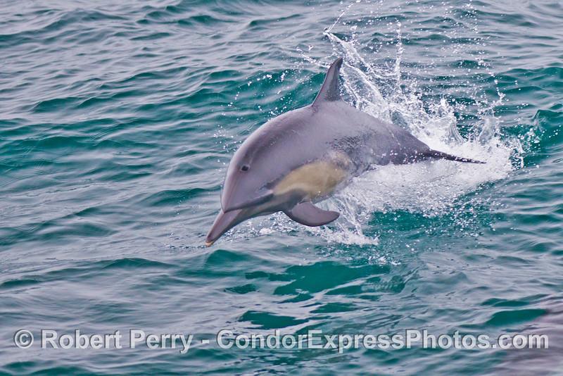 Common dolphin (<em>Delphinus capensis</em>).