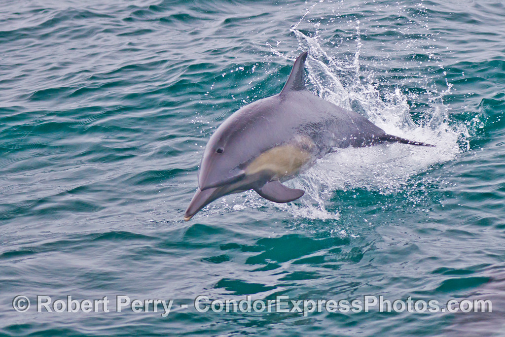Common dolphin (<em>Delphinus capensis</em>).