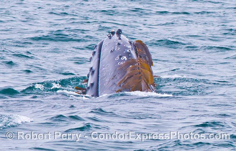Here we see a humpback whale (<em>Megaptera novaeangliae</em>) that has rolled itself over in some drifting giant kelp (<em>Macrocystis pyrifera</em>).