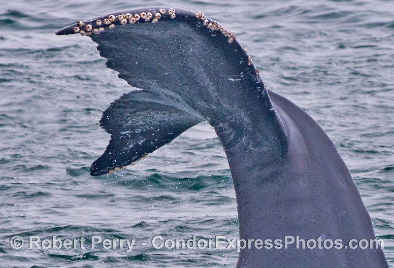 """A humpback whale (<em>Megaptera novaeangliae</em>) tail is seen here as it does a rare """"head stand"""" maneuver.  See image 3 for a wide angle view of this whale."""