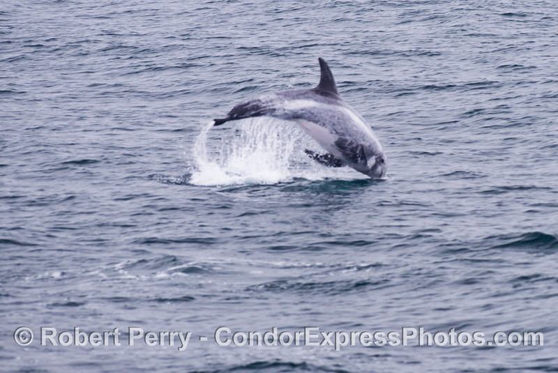 A fuzzy foto of a leaping Risso's dolphin (<em>Grampus griseus</em>).
