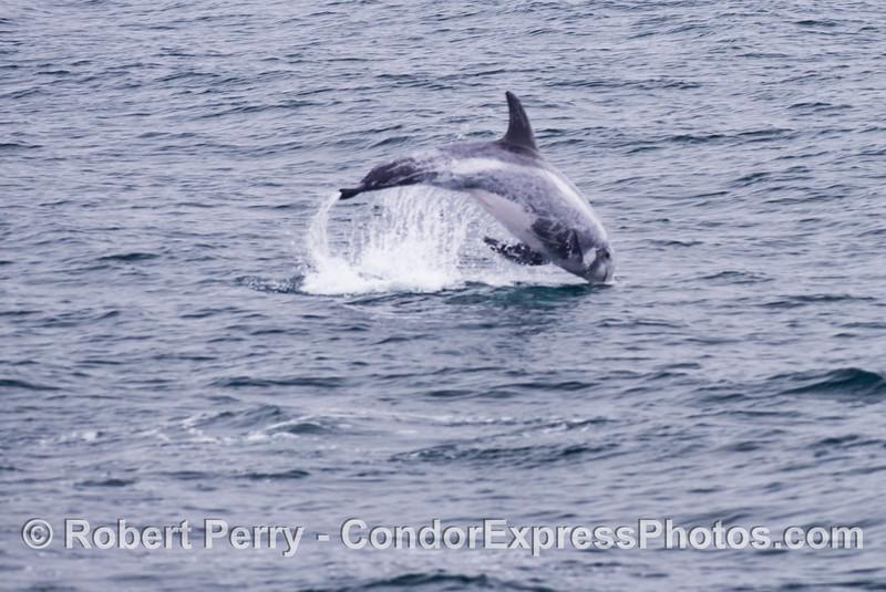 A fuzzy foto of a leaping Risso's dolphin (<em>Grampus griseus</em>).