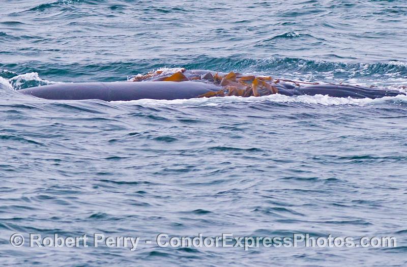 A humpback whale (<em>Megaptera novaeangliae</em>) playing with giant kelp (<em>Macrocystis pyrifera</em>).