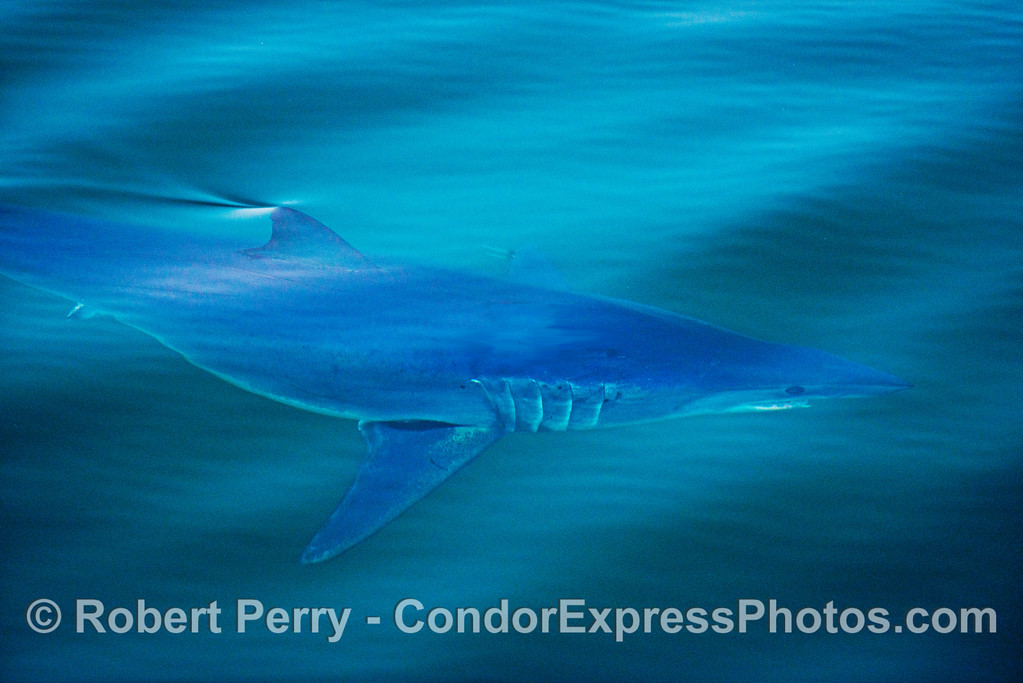 A short fin mako shark (<em>Isurus oxyrinchus</em>), aka bonito shark, is shown swimming just under the surface. (Note:  the animal had a fresh, bright red gash across its back which I surgically removed for aesthetic reasons)