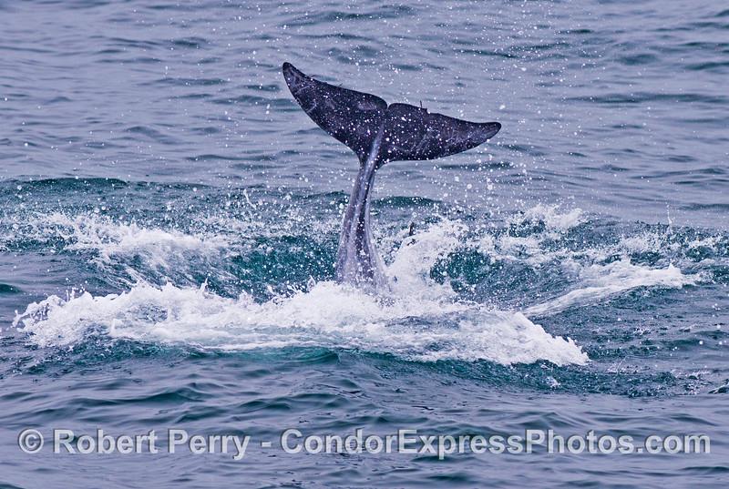 Tail flukes of a Risso's dolphin (<em>Grampus griseus</em>).