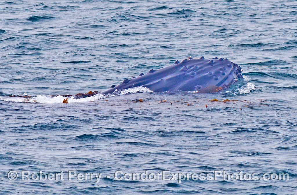 A humpback whale (<em>Megaptera novaeangliae</em>) playing with giant kelp (<em>Macrocystis pyrifera</em>).