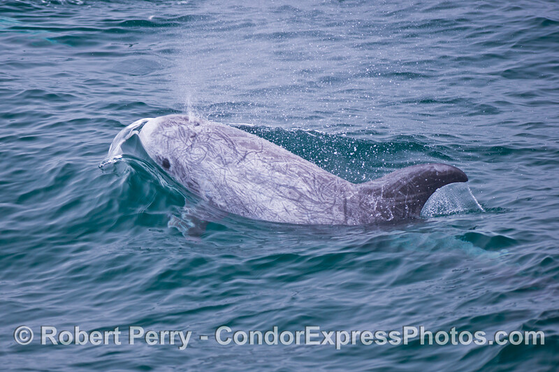 Risso's dolphin (<em>Grampus griseus</em>)