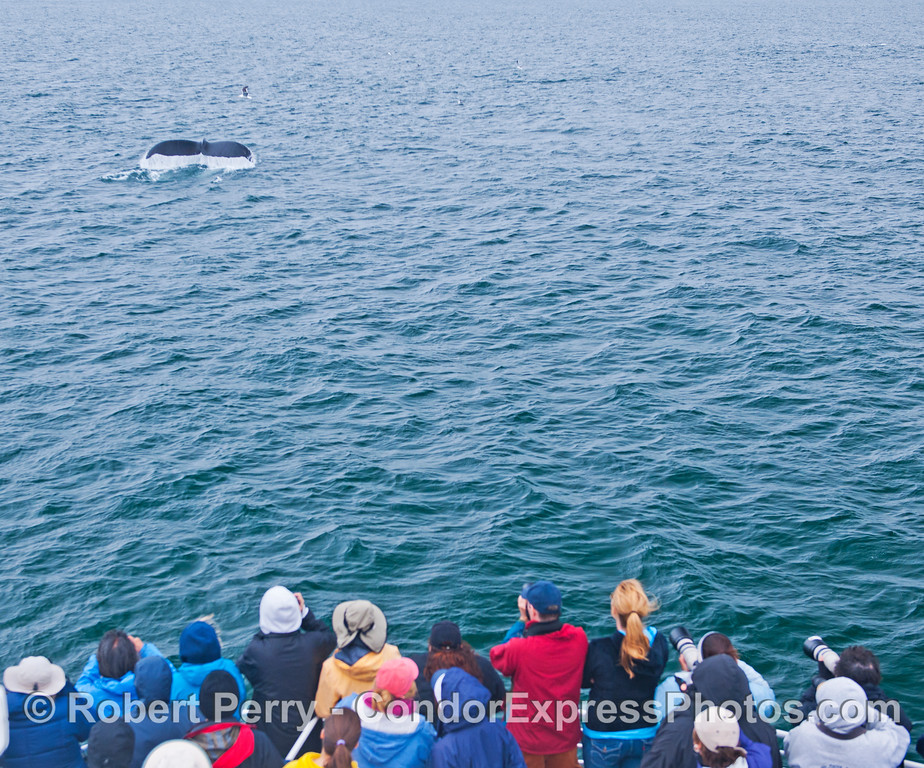 Whale watchers from the American Cetacean Society get a nice look at the tail flukes of a humpback whale (<em>Megaptera novaeangliae</em>).