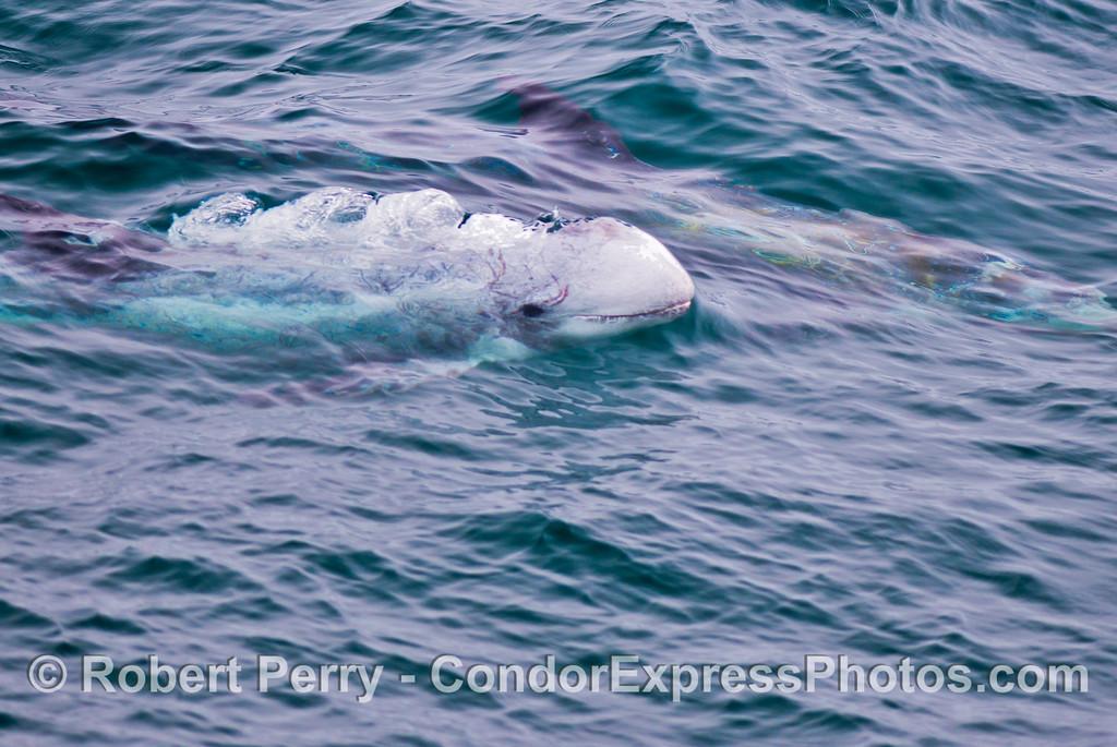 A bubbly Risso's dolphin (<em>Grampus griseus</em>).