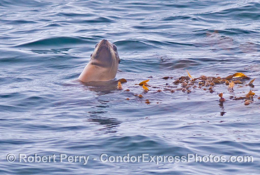 A California sea lion (<em>Zalophus californianus</em>) is photographed resting is a drifting kelp paddy (<em>Macrocystis pyrifera</em>).