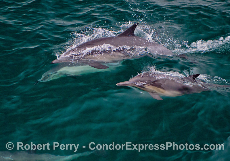 Three common dolphins (<em>Delphinus capensis</em>)