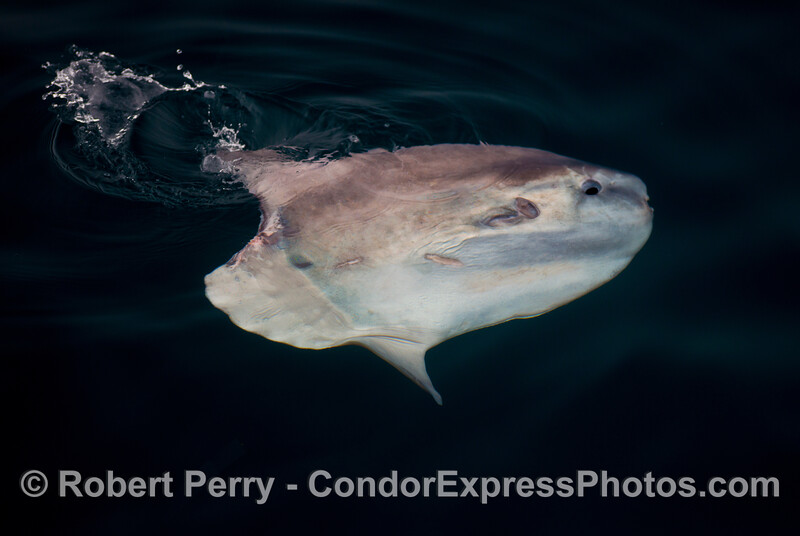 An ocean sunfish or <em>Mola mola</em>.
