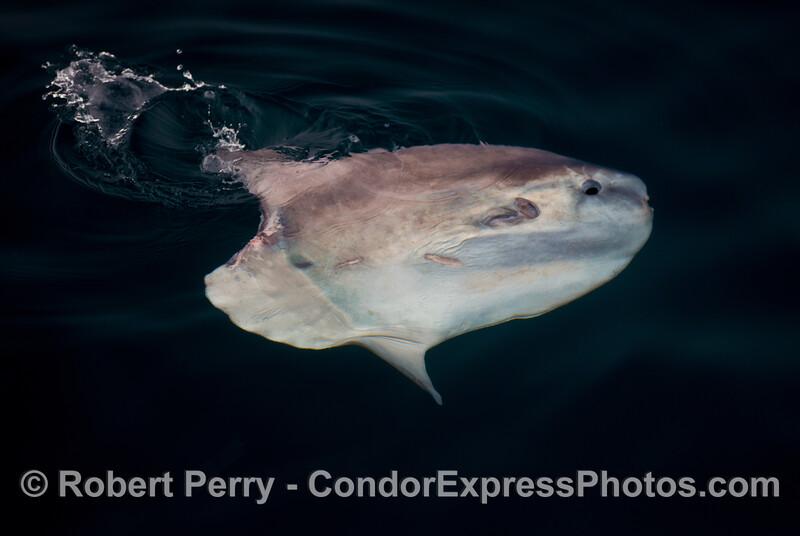 An ocean sunfish or <em>Mola mola</em>.