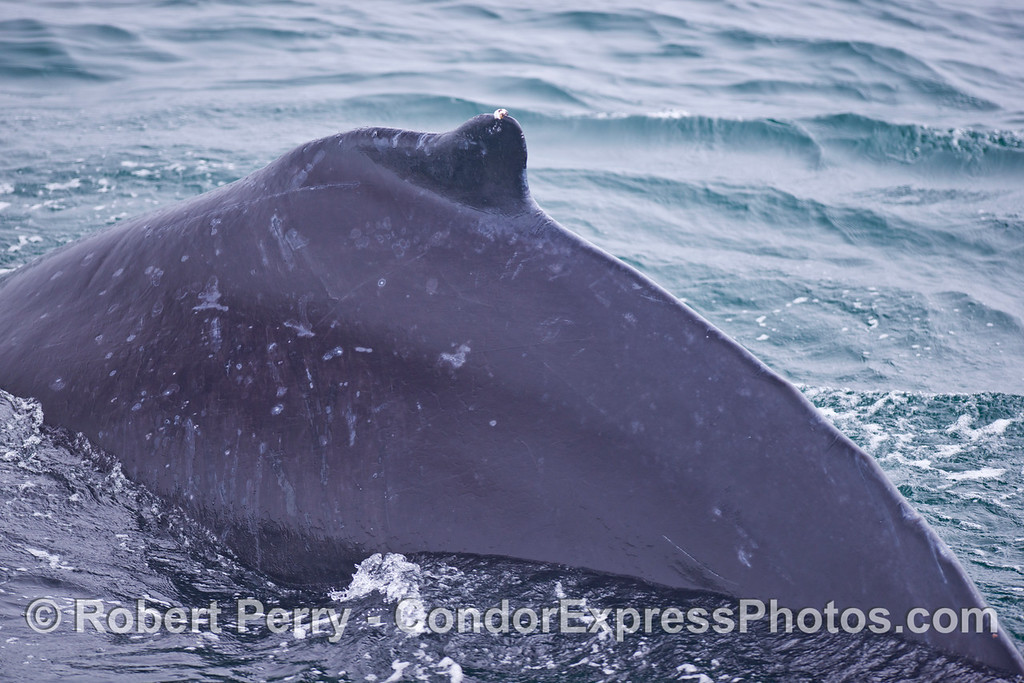 Posteriodorsal aspect of a humpback whale (<em>Megaptera novaeangliae</em>).